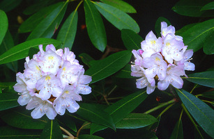 Rhododendron_def_up_medium