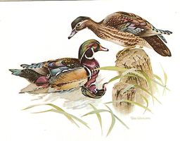 Whitlatch_woodducks_medium