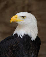 Bald_eagle_portraitp_medium