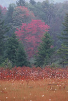 Cranberry-glades_wv_medium