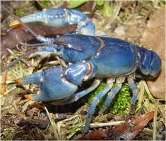 Cambarus_monongalensis_-_blue_crayfish_medium