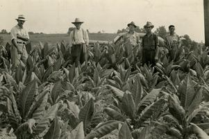 Tobacco_farming_masoncounty_medium